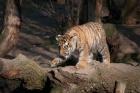 sibirischer Tiger - Jungtier